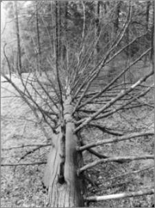 Kanał Augustowski [Zwalone drzewo]