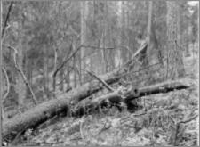 Kanał Augustowski [Las k. śluzy Paniewo]